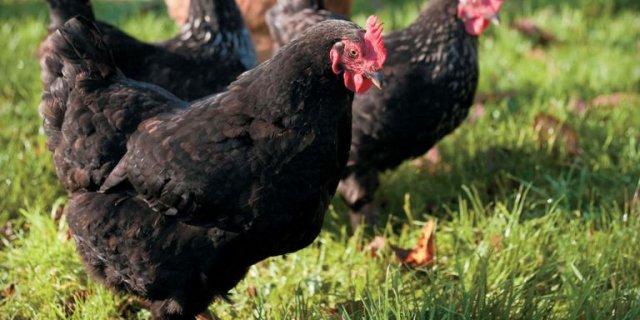 Bloedluis bestrijden bij kippen, spinnen en kanaries