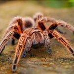 bloedluis bij spinnen