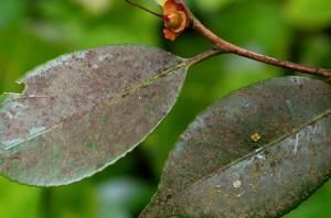 schade roetdauwschimmel op bladeren