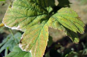 schade spint op blad afgestorven