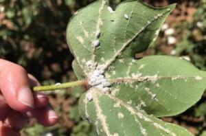 schade wolluis op plant