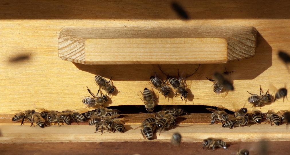 varroa mijt bij bijen