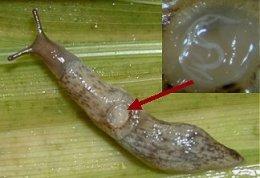 Infectie naaktslak met aaltjes