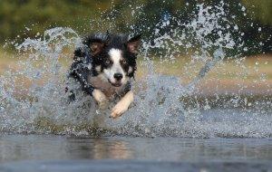 blauwalg bij honden