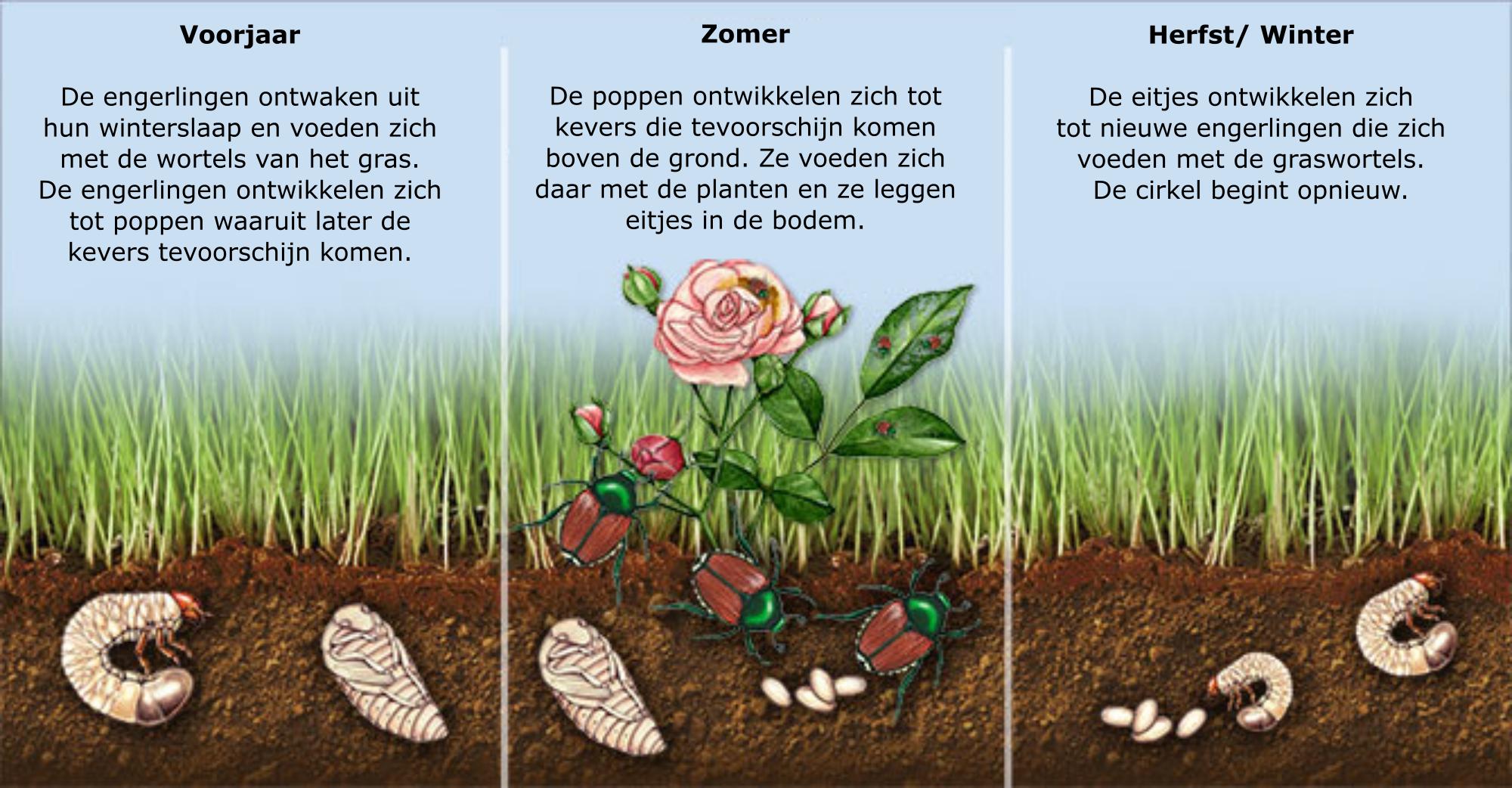 levenscyclus engerlingen in de bodem