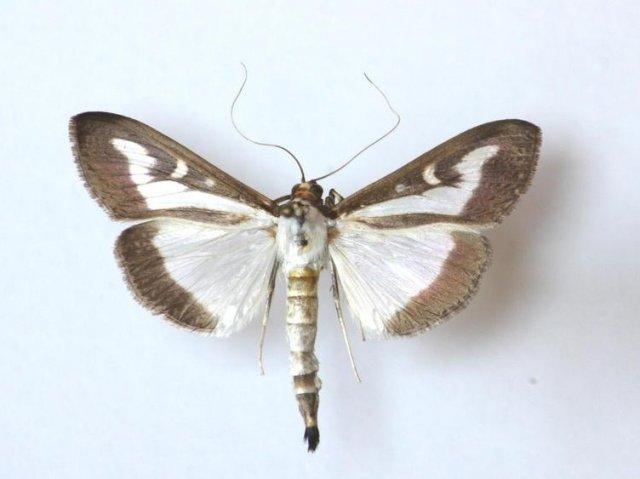 close up buxus mot Cydalima perspectalis 1