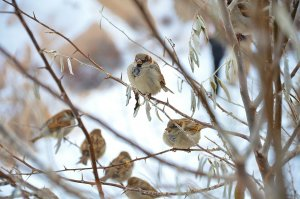 Mus op tak in winter - Biobestrijding