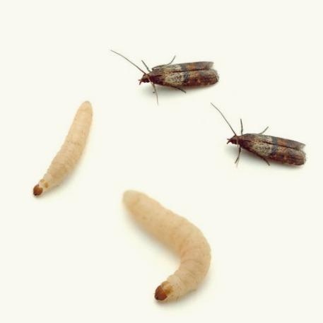 voedselmotten en larven
