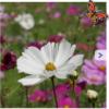 Cosmea bloemzaden, gemengd