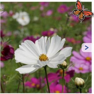 cosmea bloemenzaden