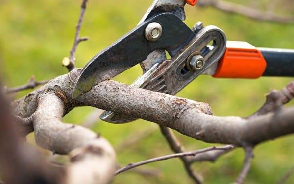 Wanneer bomen en struiken snoeien