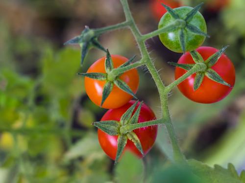 Tomatenziektes