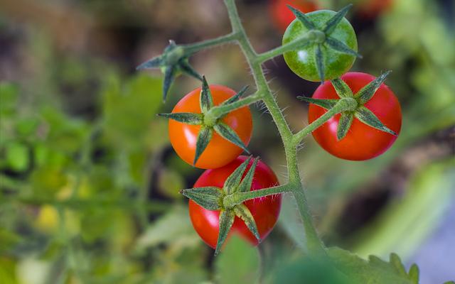 tomatenplant ziektes bestrijden